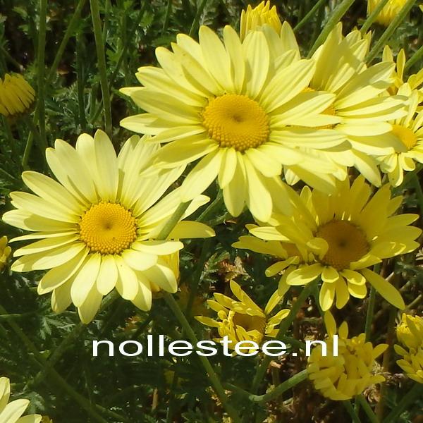 Gele Kamille